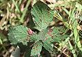 Nieuw Leeuwenhorst - Veelcellige braamroest (Phragmidium violaceum).jpg
