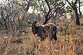 Nkomazi Game Reserve, South Africa (22464837280).jpg