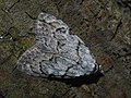 Nola confusalis - Least black arches - Карликовый шелкопряд светло-серый (41136641761).jpg