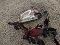 Noordwijk - Roze krabbepoot.jpg