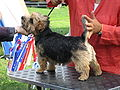 Norfolk Terrier Norway.JPG
