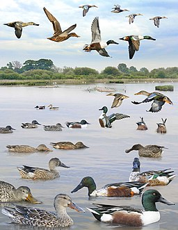 Northern Shoveler from the Crossley ID Guide Britain and Ireland