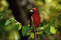 Northern cardinal (Cardinalis cardinalis).jpg