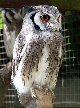 Northern white-faced owl arp