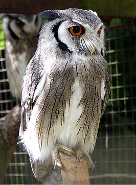 Northern white-faced owl arp.jpg