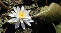 Nymphaea odorata subsp. tuberosa.jpg