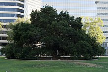 Oak Tree growing in Frank H. Ogawa Plaza.jpg