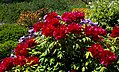 Odessa Botanic Garden Tree peony 04.jpg