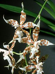 Odontoglossum crocidipterum Orchi 02