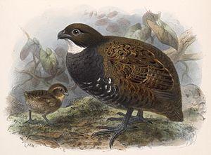 Wood quail - Odontophorus leucolaemus
