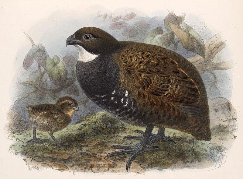 File:Odontophorus leucolaemusCJ-AvesP74A.jpg