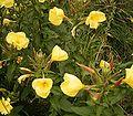 Oenothera glazioviana 05 ies.jpg