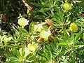 Oenothera missouriensis6.jpg