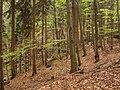 Oldřichovská vrchovina, sever, bučina 06.jpg
