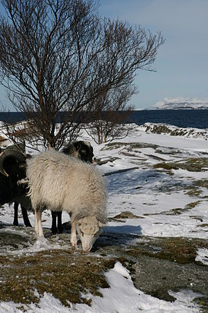 Northern European short-tailed sheep - Old Norwegian Sheep on the coast of Norway