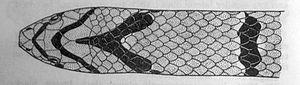 Banded kukri snake - Head (illustration)