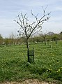 One Apple Tree in the Millennium Orchard - geograph.org.uk - 778108.jpg