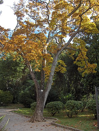 Magnolia denudata - Image: Opatija 019
