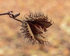 Opengebarsten vrucht van beuk (Fagus sylvatica) (d.j.b.) 02.jpg