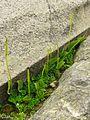 Ophioglossum sp. - Flickr - pellaea (1).jpg