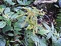 Ophiorrhiza mungos-3-sengaltheri-kalakkadu-tirunelveli-India.jpg