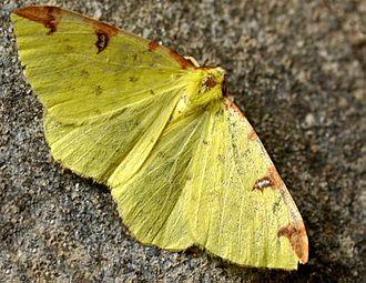 Brimstone moth - Image: Opisthograptis luteolata 01