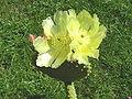 Opuntia microdasys1.JPG