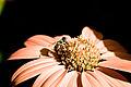 Orange Flower With A Bee.jpg