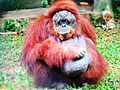 Orangutan at Nandankanan Zoological Park.jpg
