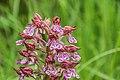 Orchis × hybrida 06.jpg
