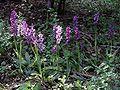 Orchis mascula Saarland 128.jpg