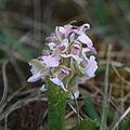 Orchis morio, Kleines Knabenkraut IMG 7527.JPG