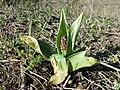Orchis purpurea sl42.jpg