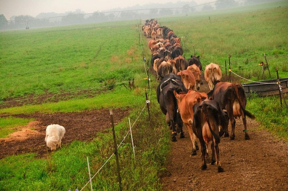 Organic cattle in Ohio, United States