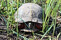 Ornate Box Turtle (26591080763).jpg