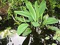 Orontium aquaticum3.jpg