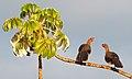 Ortalis canicollis -Bonito, Mato Grosso do Sul, Brazil -two-8.jpg