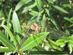 Orthetrum Chrysostigma-from-Canary Islands.JPG