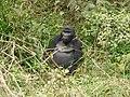 Oruzogo Mountain Gorilla (6734912127).jpg