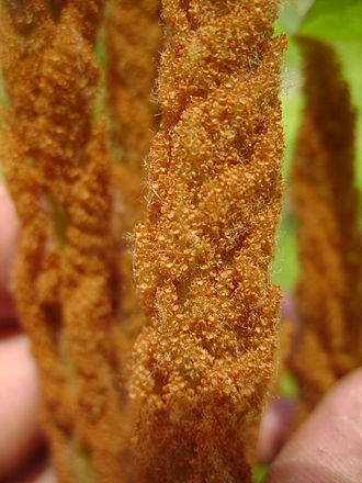 Osmundastrum - Spore-bearing frond