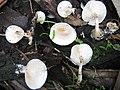 Ossicaulis lachnopus (Fr.) Contu 182827.jpg