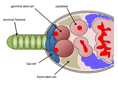 a cartoon diagram shows the tip of a tissue with cells labeled
