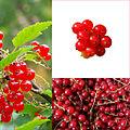 Owoce Porzeczka czerwona.jpg