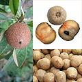 Owoce Sapodilla.jpg
