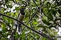 Pássaro Observador - Chapada Diamantina.jpg