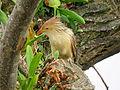 Pássaro em Viamão 022.JPG