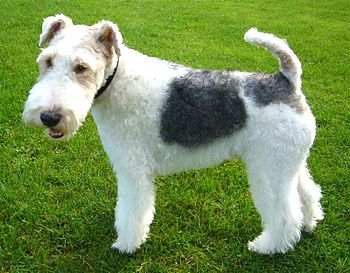 English: Basil the wire haired fox terrier