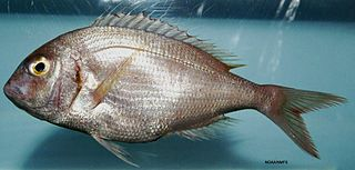Red porgy Species of fish