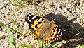 Painted Lady (I think) (14305463525).jpg