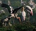 Painted Stork (Mycteria leucocephala) in Uppalpadu, AP W IMG 3315.jpg